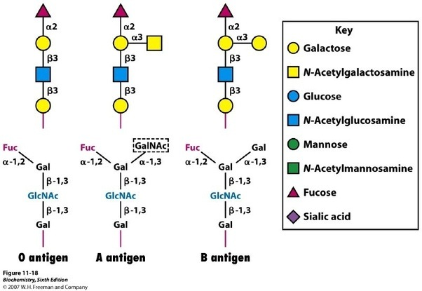 O Antigen Why does the bl...