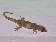 it is also known as the pacific house gecko the asian house gecko house lizard or moon lizard - Garden Lizard