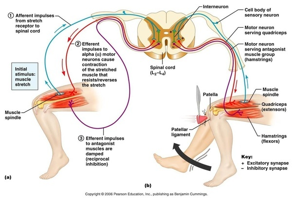 How does the gamma motor neuron affect the stretch reflex for What is a motor neuron