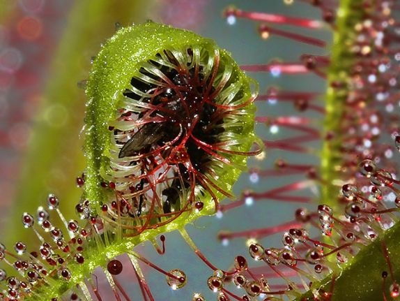 How Does The Sundew Plant Trap Insects Quora