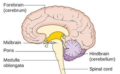 Which is the main thinking part of the brain: the ...
