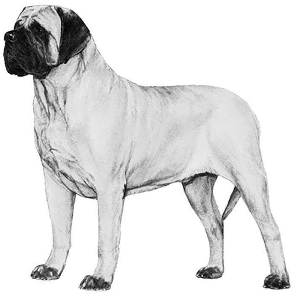 How Different Is The Italian Mastiff From The English