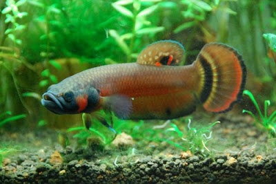 What are some betta fish breeds that are relatively healthy and don