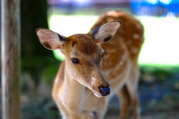 How Do You Spell The Plural Form Of Deer - Kalimat Blog