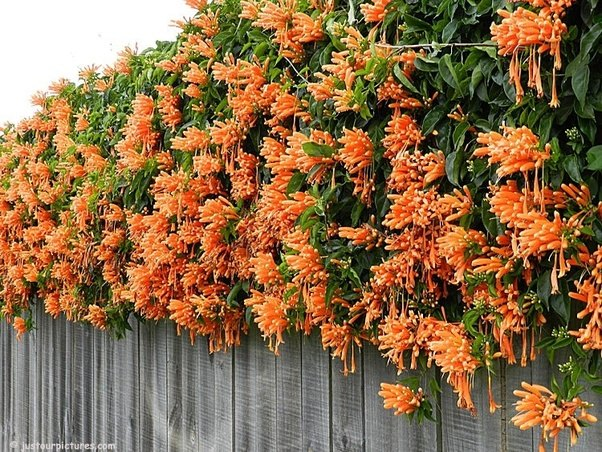 What is a good flowering plant alternative to wisteria in india quora cassia fistula indian laburnum this iconic indian tree is a close relative of wisteria it has golden yellow flowers with similar drooping style mightylinksfo