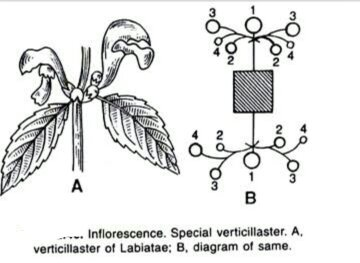 What is a verticillaster inflorescence special? - Quora