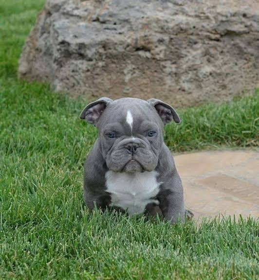 how much does a pitbull puppy cost in india quora