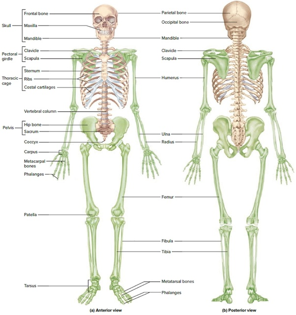Is Yoga Anatomy Subject Important To Study As A Yoga Teacher Quora