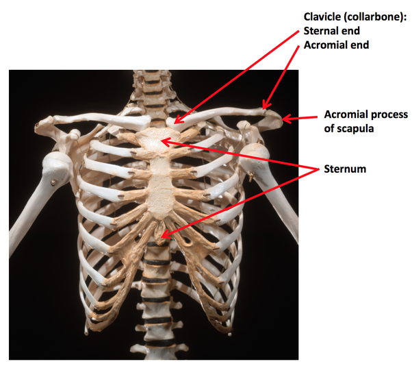 What Is The Sternal Part Of The Bone