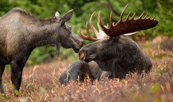 What S The Plural Of Moose Quora