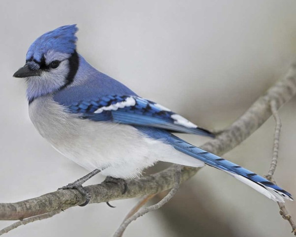 What Are The Differences Between Blue Bird And A Blue Jay What Are