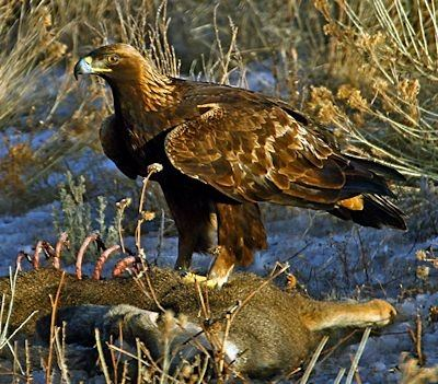 The Asian Golden Eagle It Is One Of Largest Species With Wingspans Regularly Exceeding 7 Metres Its Range Doesnt Carry Into Most India