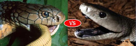 After Bitten By Black Mamba It Will Take 20 Minutes For Humans Survival And Causes Coughing Dizziness Heart Beat