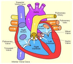 What Diagram Of A Human Heart Biology Can You Make