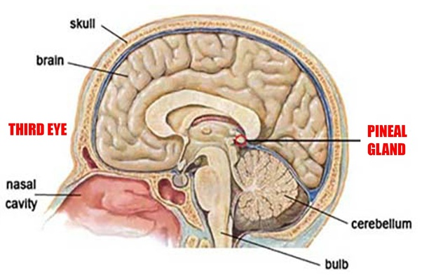 Why is the pineal gland called 'third eye?' - Quora