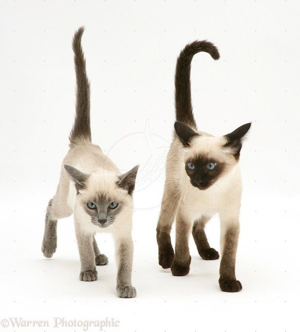 Blue Point And Seal Siamese Cats