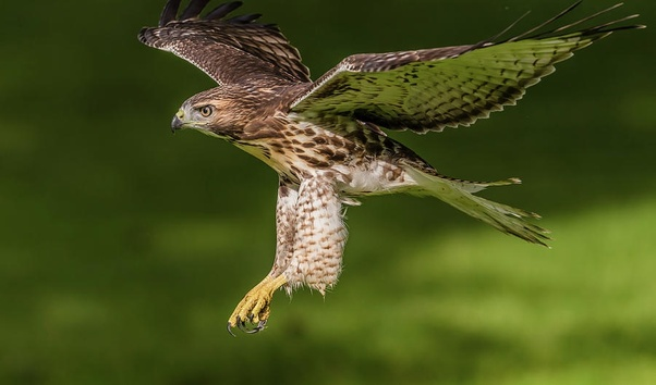 What are the differences between an eagle, a falcon and a