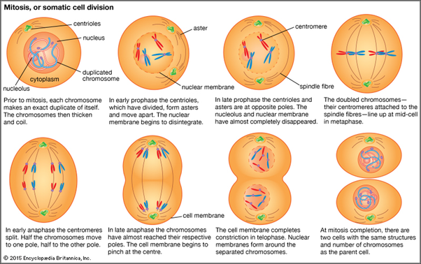 How does mitosis take place in animals quora mitosis somatic cell division diagram lifted from media1itannica article cell division and growth ccuart Choice Image