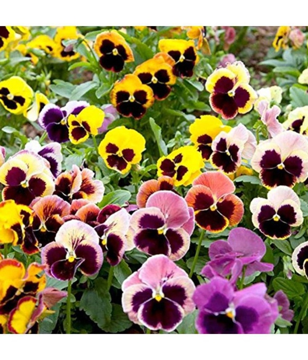 What are the best flowers to grow from seeds in 2 3 weeks or more pansy is the spring plant that adds a swath of gorgeous colors to the garden it includes the tri color viola such as yellow white and purple mightylinksfo