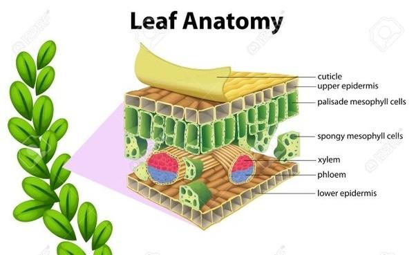 What is plant anatomy? - Quora