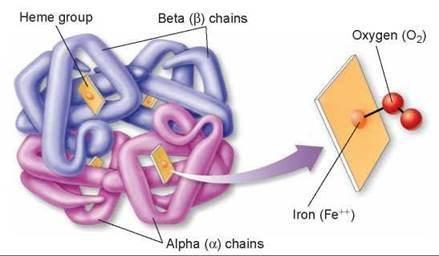 Hemoglobin (human, Hb) protein molecule. Iron-containing oxygen ...