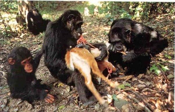 chimpanzee-fucking-sheridan-pussy