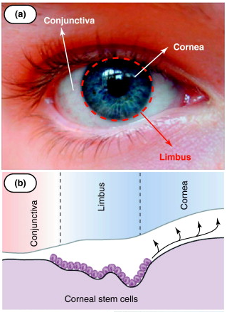 Do Corneal Epithelial Cells Multiply After They Are Damaged Quora