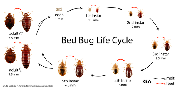 How To Know If My Bedbugs Are Gone Quora
