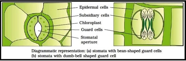 In a stomata, how many guard cells are present? - Quora