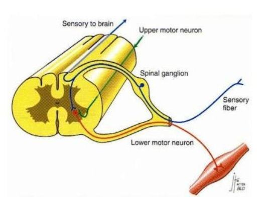 So neuron present in spinal cord has a body of motor neuron and axon of sensory neuron left. (As shown in photo)