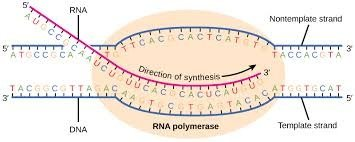 What is the importance of the dna complementary strand quora the next big ambiguity arises from biologys failure to standardize terminology the text above uses coding vs template strands maxwellsz