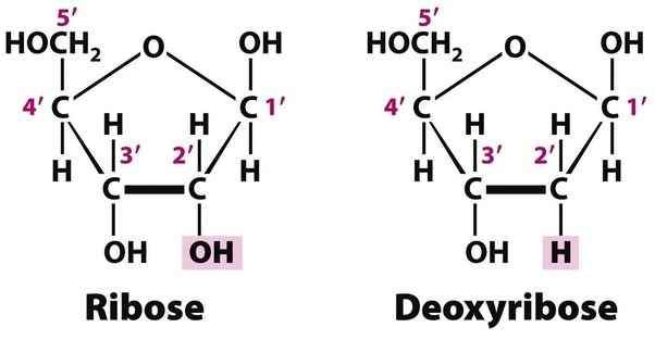 D Deoxyribose What is the dif...