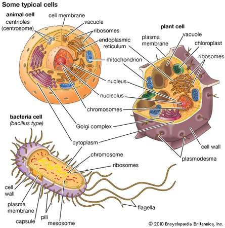 what are the differences between a plant and animal cell and a rh quora com animal cell diagram answers animal plant bacterial cell venn diagram
