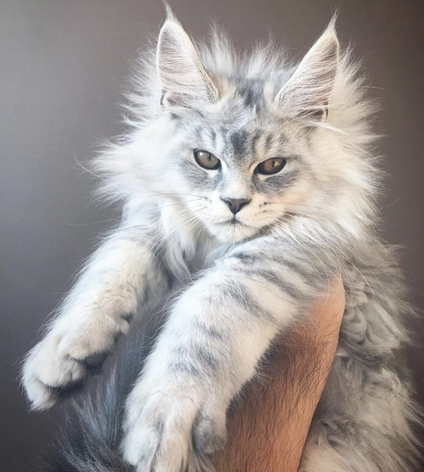 Which Is The Cutest Cat Breed Quora