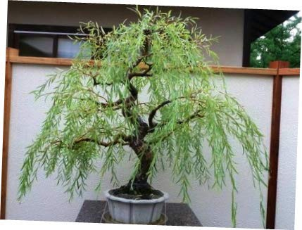 Can You Bonsai A Willow Tree Quora