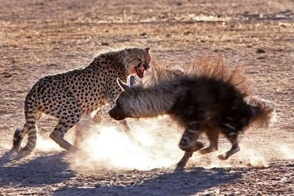 Can An Average Human Kill A Cheetah In A Fight Quora