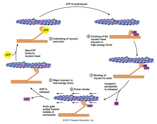How Do Actin And Myosin Work During Muscle Movement Quora