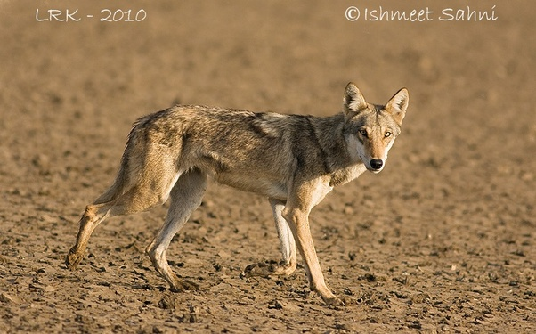 What was the natural habitat or range of the Indian wolf in