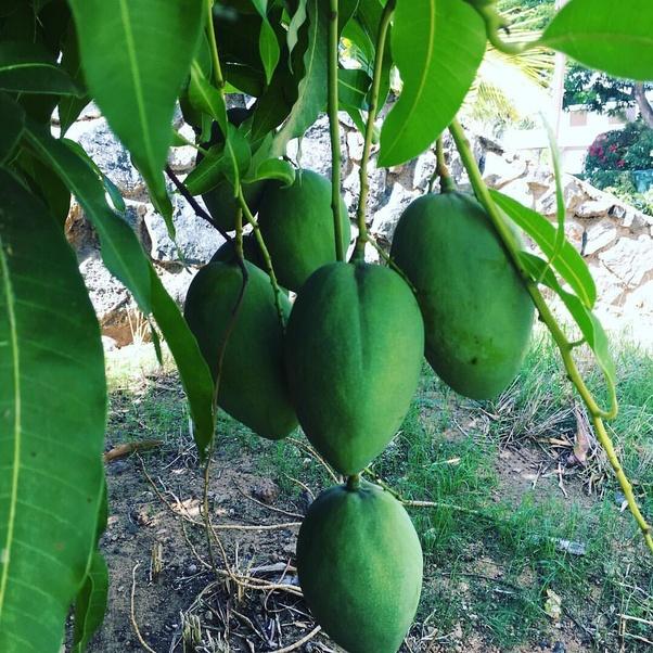 Is it okay to eat raw mango when having UTI? - Quora