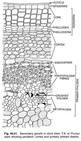 How are the epidermal cell walls in plants thick while it ...