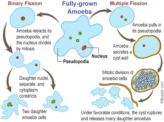 Reproduction in amoeba by asexual reproduction definition