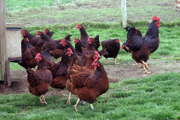 How To Tell Rhode Island Red Rooster From Hens