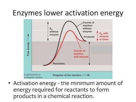 activation energy of reactions enzymes