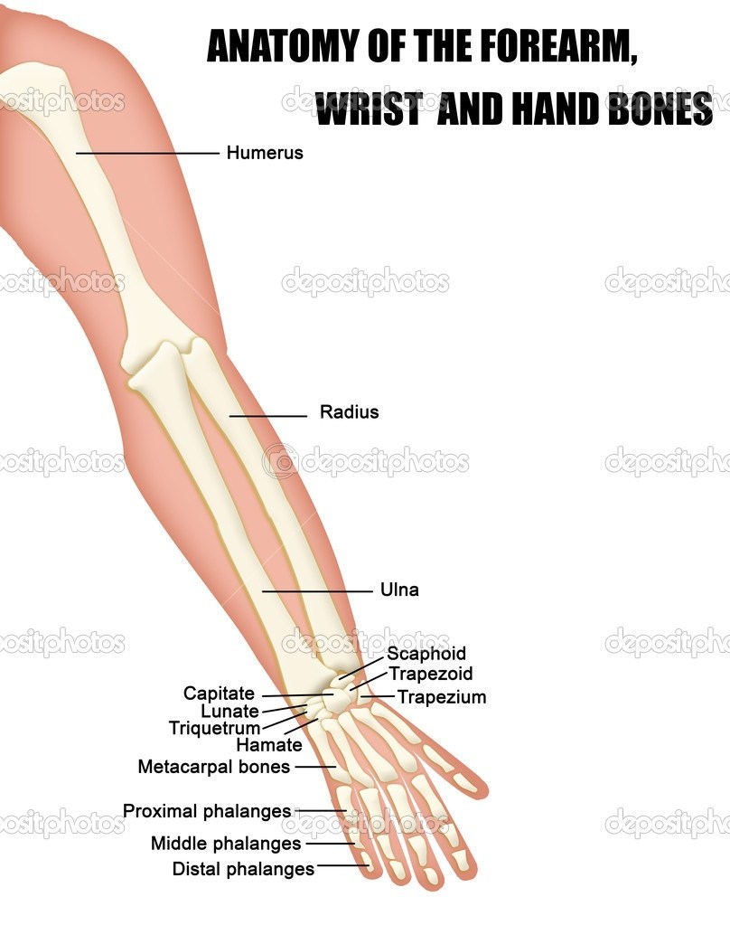 What Are The Two Bones In The Forearm Called Quora