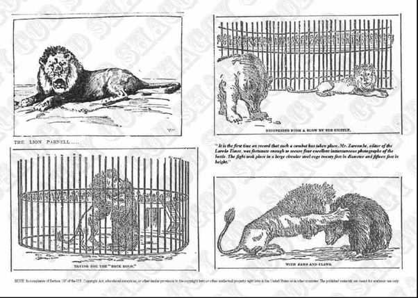 Who would win a fight between a lion and a grizzly bear quora parnell vs ramandan publicscrutiny Choice Image