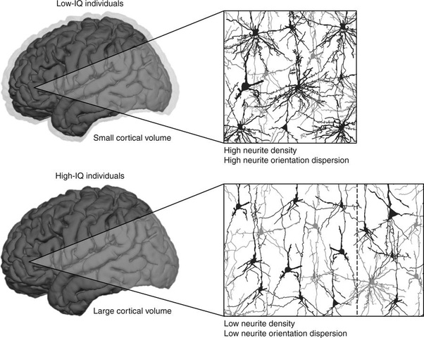 are intelligent people able to use more of their brain or