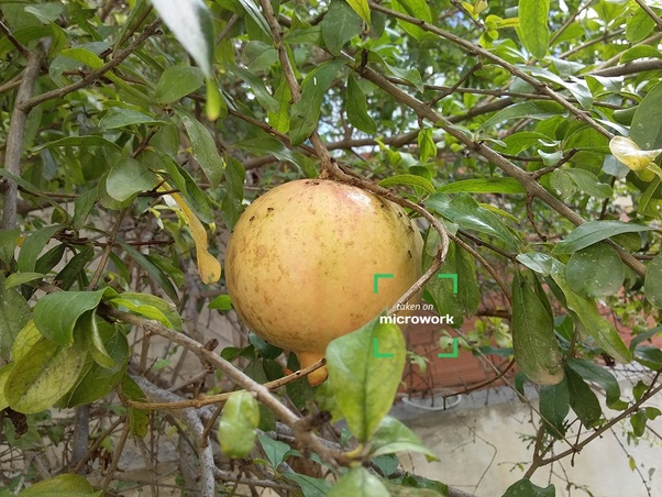 Where can I get the datasets for pomegranate fruit disease