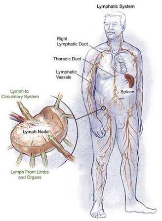 Why can an infection in the foot provoke swell in the lymph nodes of ...