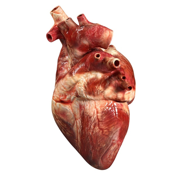 What Is The Structure Of The Heart Quora