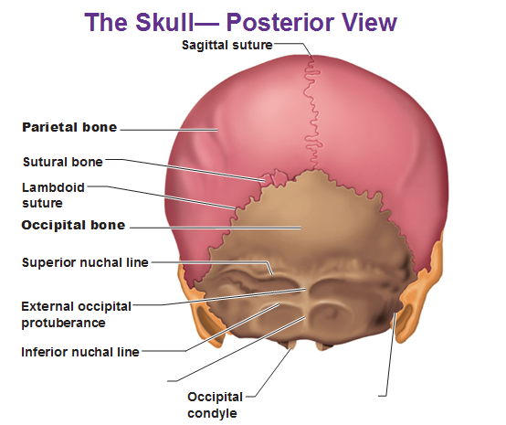 I Have 5 Ball Sized Bones Sticking Out Of The Back Of My Skull Is